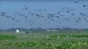 Faridpur's Nurpur Beel abuzz with the symphony of migratory birds