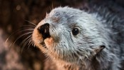 Return of the otter: How reintroduced predators benefit ecosystems