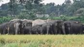 Kurigram farmers worried over crops damage by Indian elephants