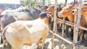 Online sale of sacrificial animals shows steady growth
