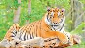 Rise in Sundarbans'  tiger population