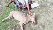 Rare wolf killed