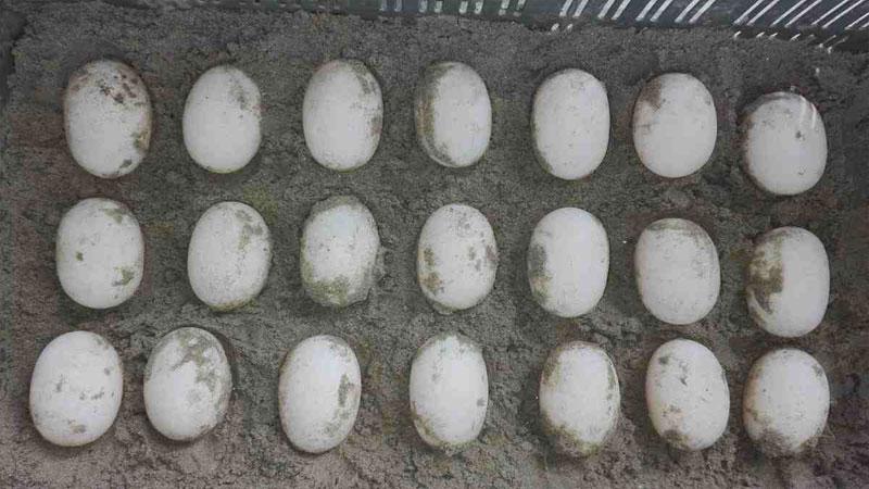 Tortoise lays 21 eggs in Sundarban's Karamjal