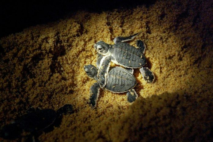 Turtles get boost as Malaysian state to ban egg trade