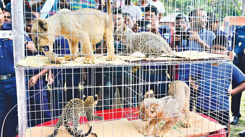 4 leopard babies, lion cubs seized